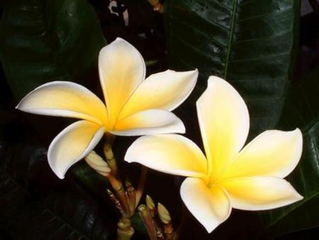 Tarocchi e fiori di bach ricerche naturopatiche for Fiori semplici